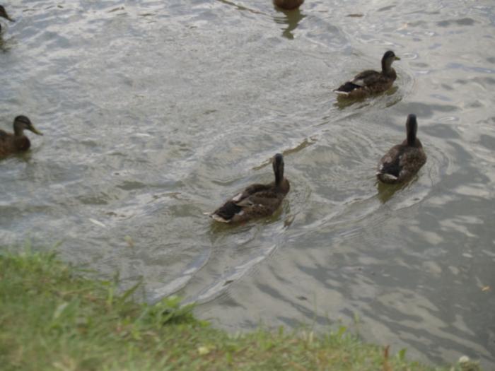 ...si ratele de pe lac